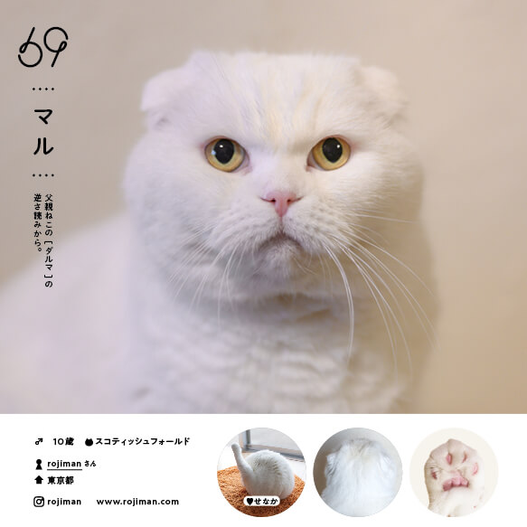 スコティッシュフォールドの人気猫「マル」 by ねこさま名鑑100