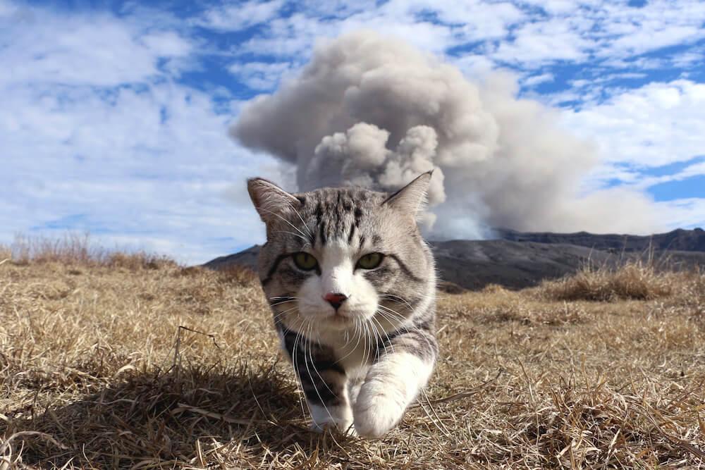阿蘇山の噴火を背景に颯爽と歩く人気猫「旅猫ニャン吉」の写真