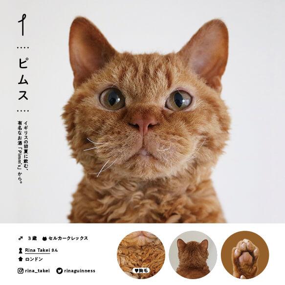セルカークレックスの人気猫「ピムス」 by ねこさま名鑑100