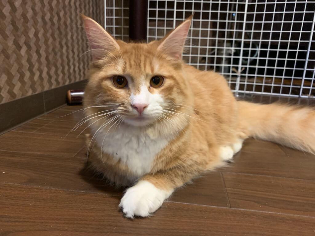 大阪の猫カフェ「ぐるぐる堂 中崎町店」にいる猫のノルウェージャンフォレストキャット