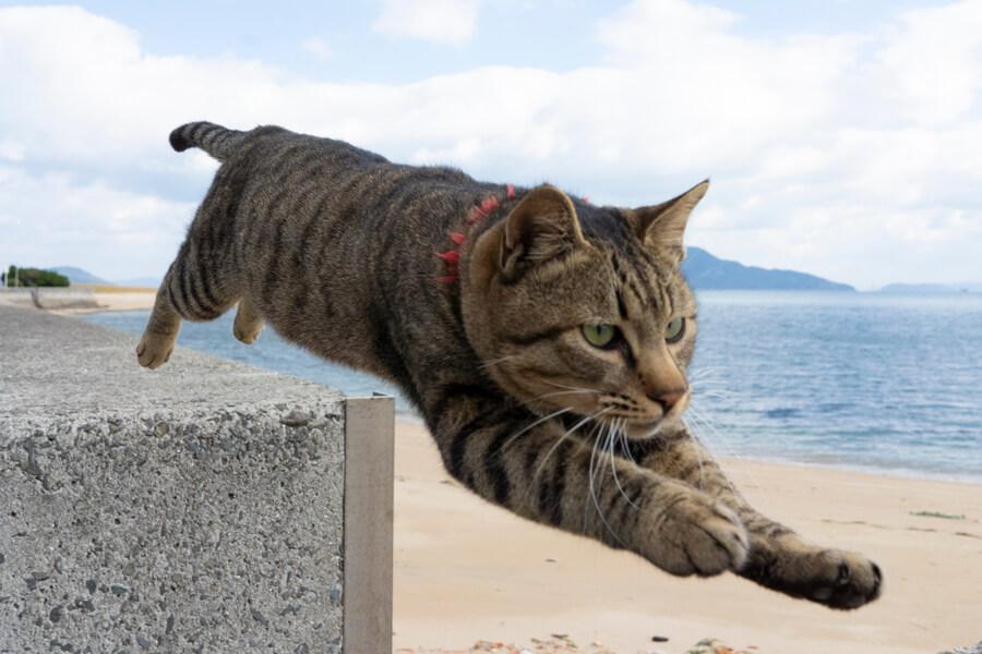 防波堤をジャンプするキジトラ猫の写真 by 五十嵐健太