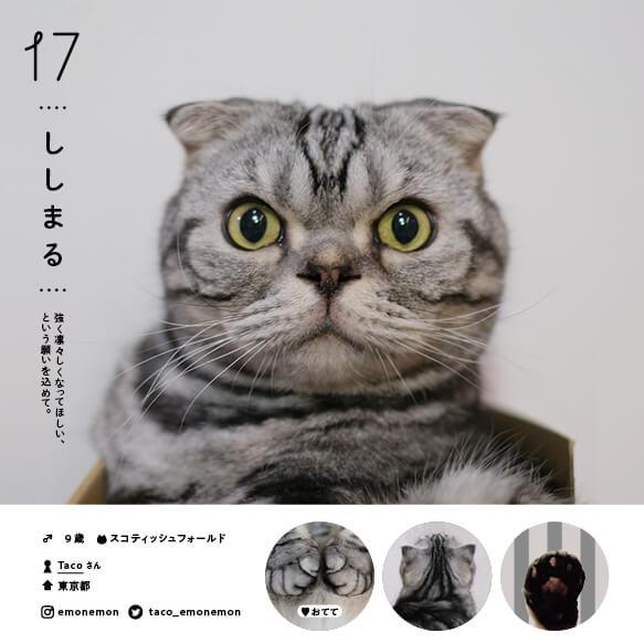 スコティッシュフォールドの人気猫「ししまる」 by ねこさま名鑑100