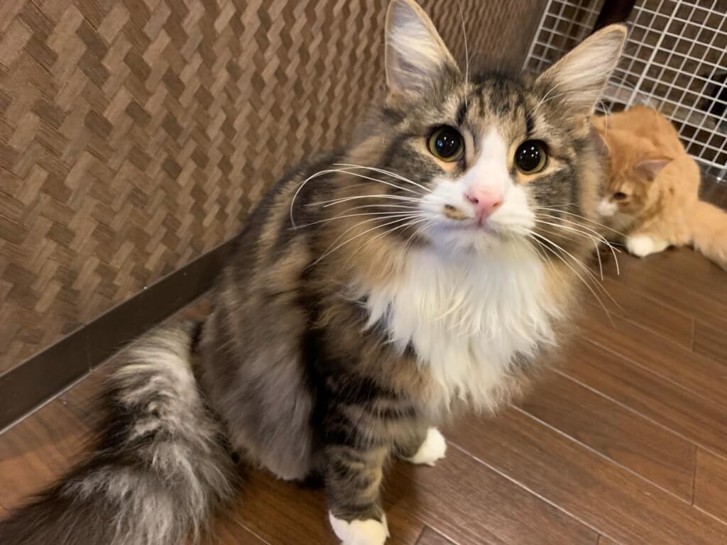 梅田の猫カフェ「ぐるぐる堂 中崎町店」にいる猫のノルウェージャンフォレストキャット