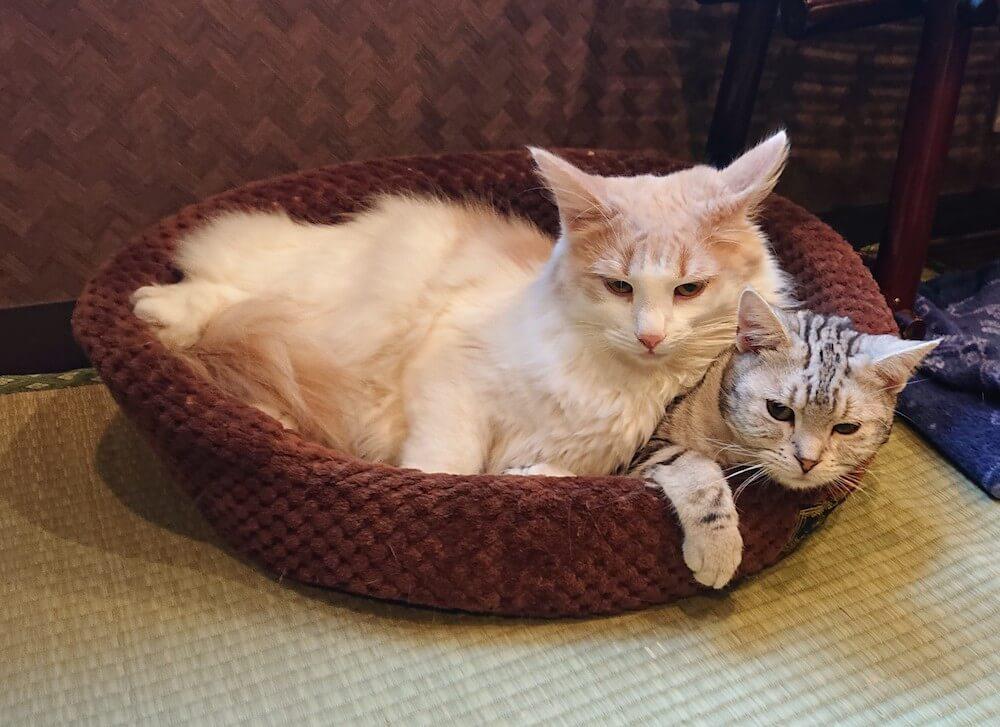 梅田の猫カフェ「ぐるぐる堂 中崎町店」にいる仲良しコンビの猫たち