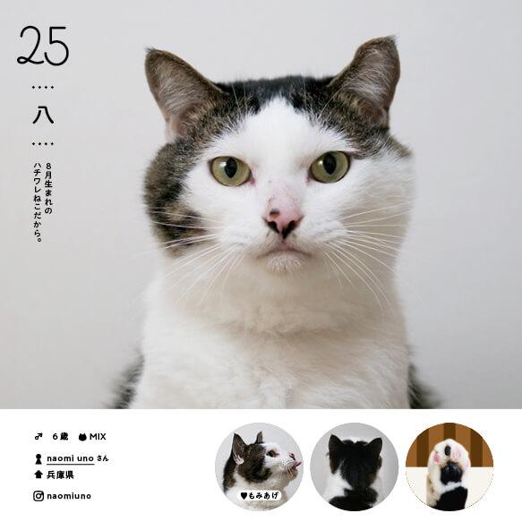 ハチワレの人気猫「八」 by ねこさま名鑑100