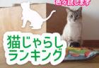 猫じゃらしランキング!【猫の飼い主必見】6種類の猫じゃらしを試してみました! ラムネチャンネル