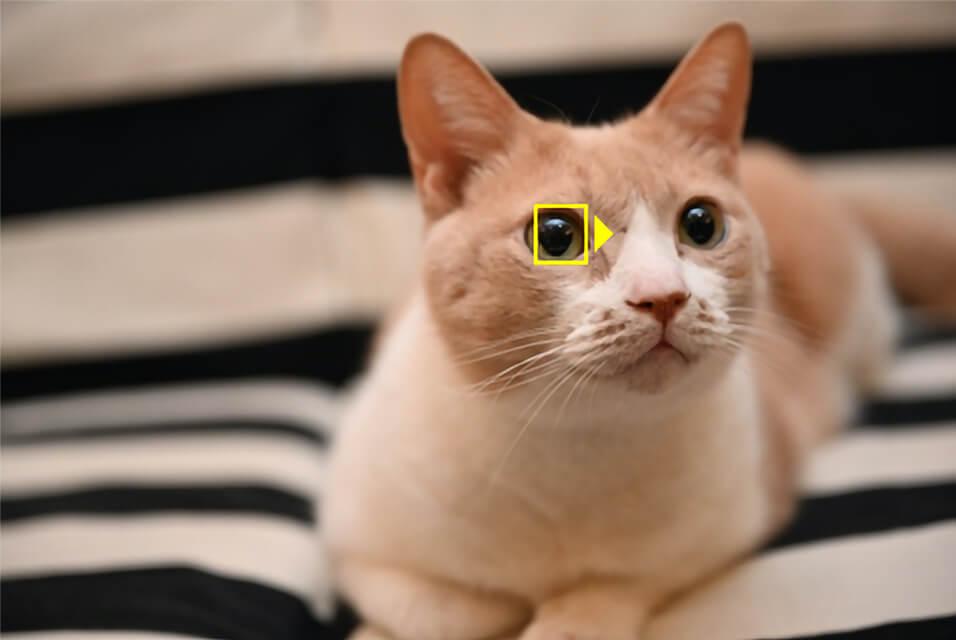Nikon(ニコン)Zシリーズの動物AF(オートフォーカス)機能で猫の瞳を検出するイメージ