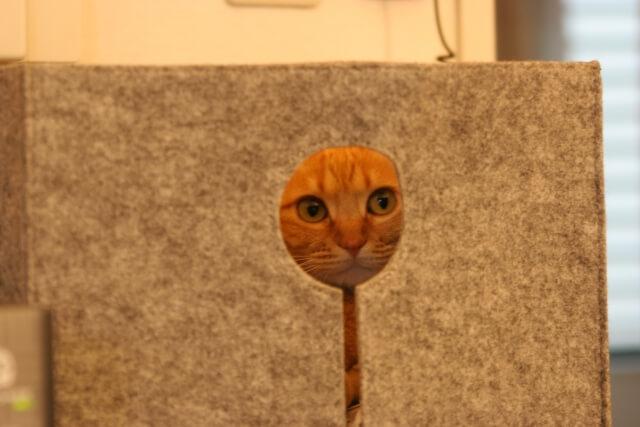 物陰からこっそり覗く茶トラ猫の写真