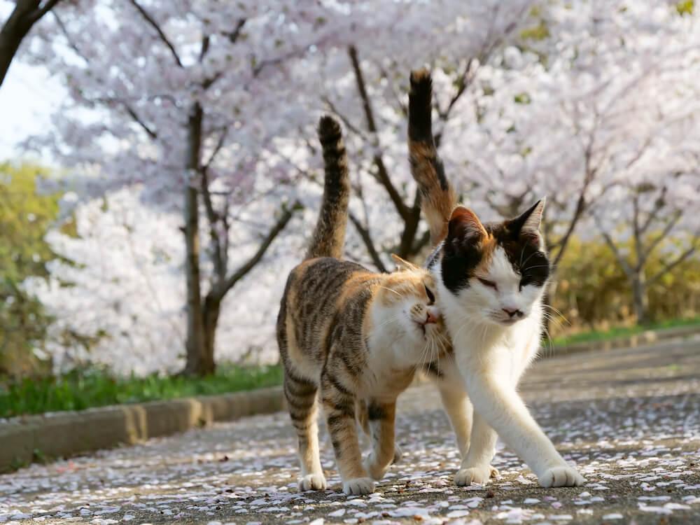 桜の花道を仲良く歩く2匹の猫 by simabossneko
