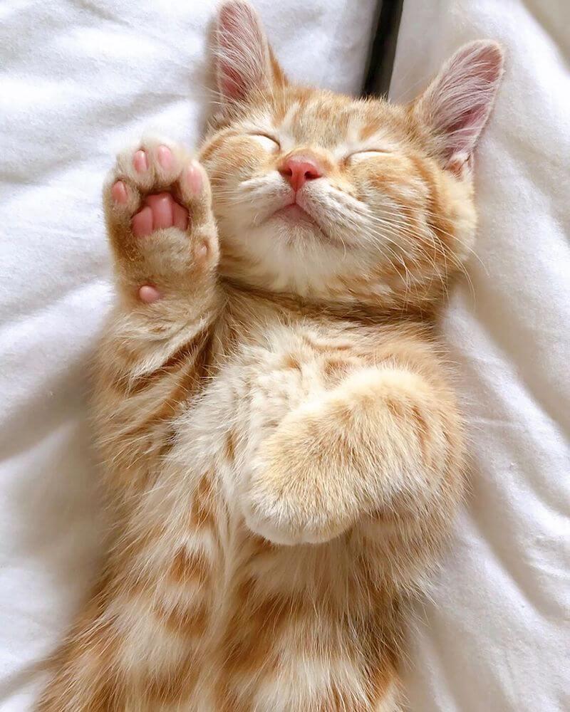 招き猫のポーズで眠る猫 大丸東京店の最優秀作品「大丸にゃんバサダー」@wagashicats