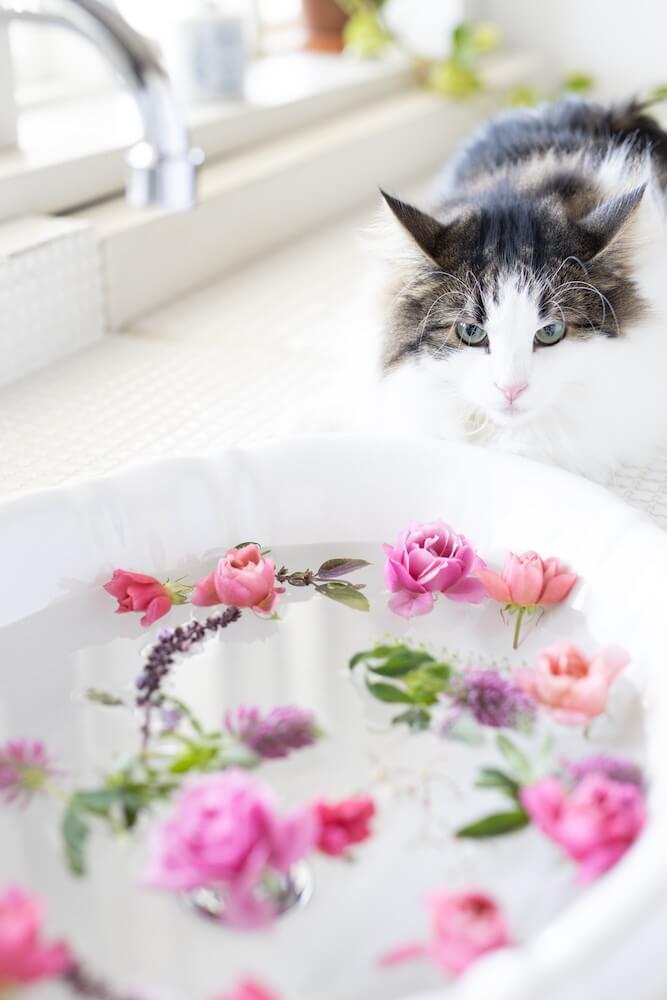 水に浮かんだ花びらを見つめる猫のノルウェージャンフォレストキャット