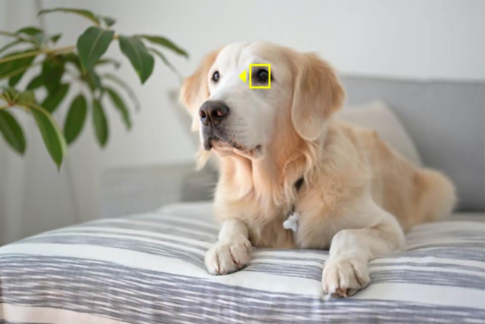 Nikon(ニコン)Zシリーズの動物AF(オートフォーカス)機能で犬の瞳を検出するイメージ
