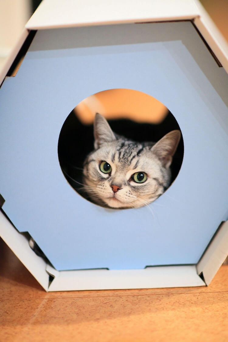 猫ハウスからひょっこり顔を覗かせる猫の写真 by ねこのひょっこり展