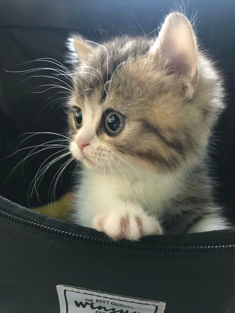 カバンからひょっこり顔を覗かせる子猫の写真 by ねこのひょっこり展