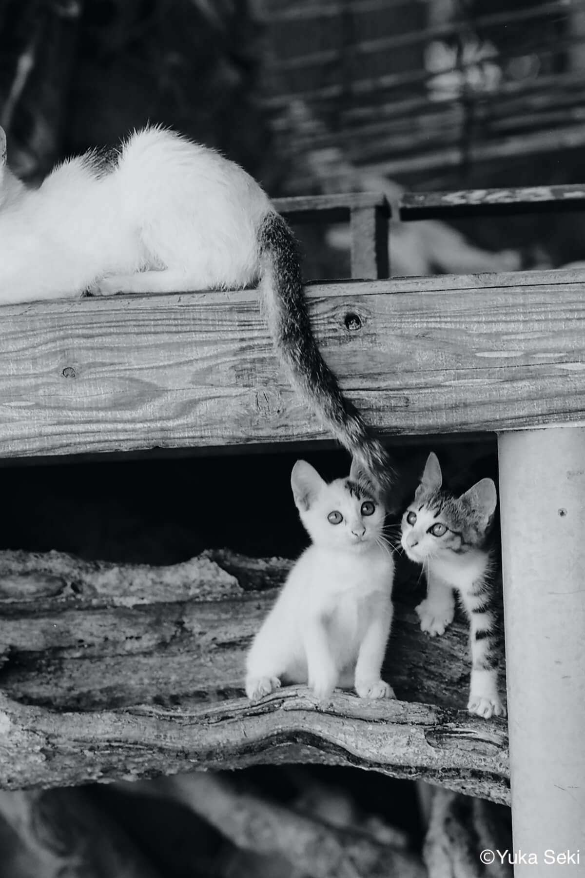 親猫のしっぽに釣られる2匹の子猫のモノクロ写真 by ねこ写真家・関由香