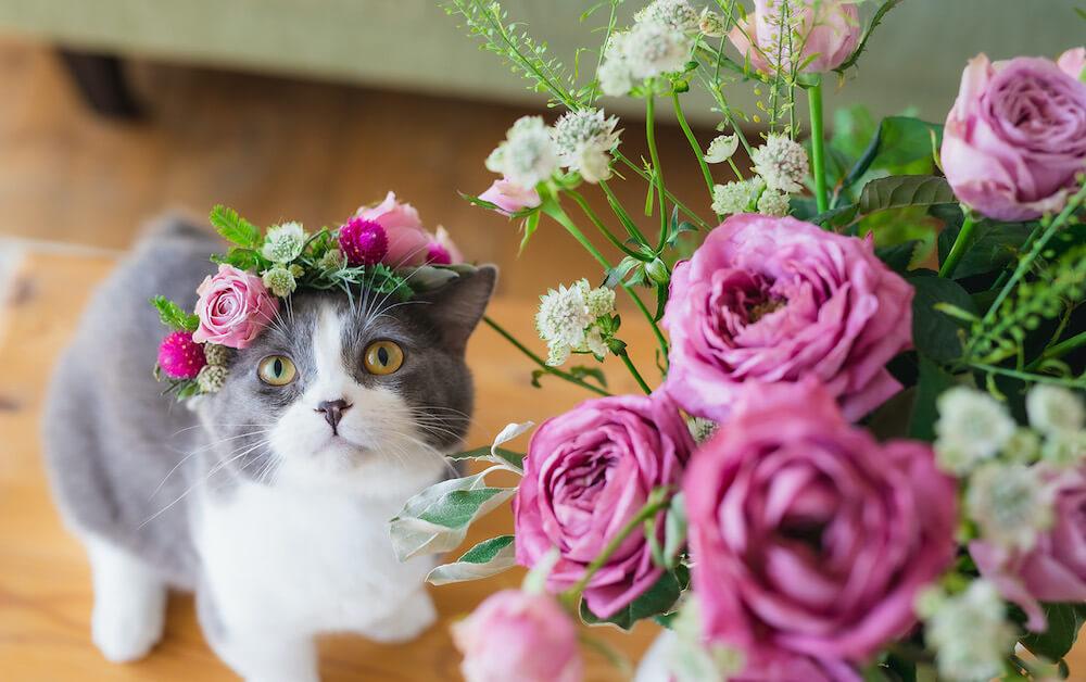 日比谷花壇の花冠を頭にのせた猫、スコティッシュフォールドのたわしちゃん