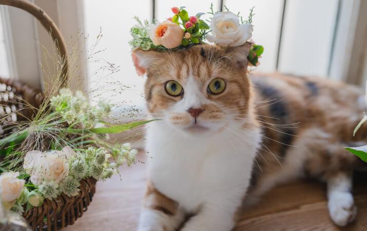 日比谷花壇の花冠を頭にのせた猫、スコティッシュフォールドのキャサリンちゃん