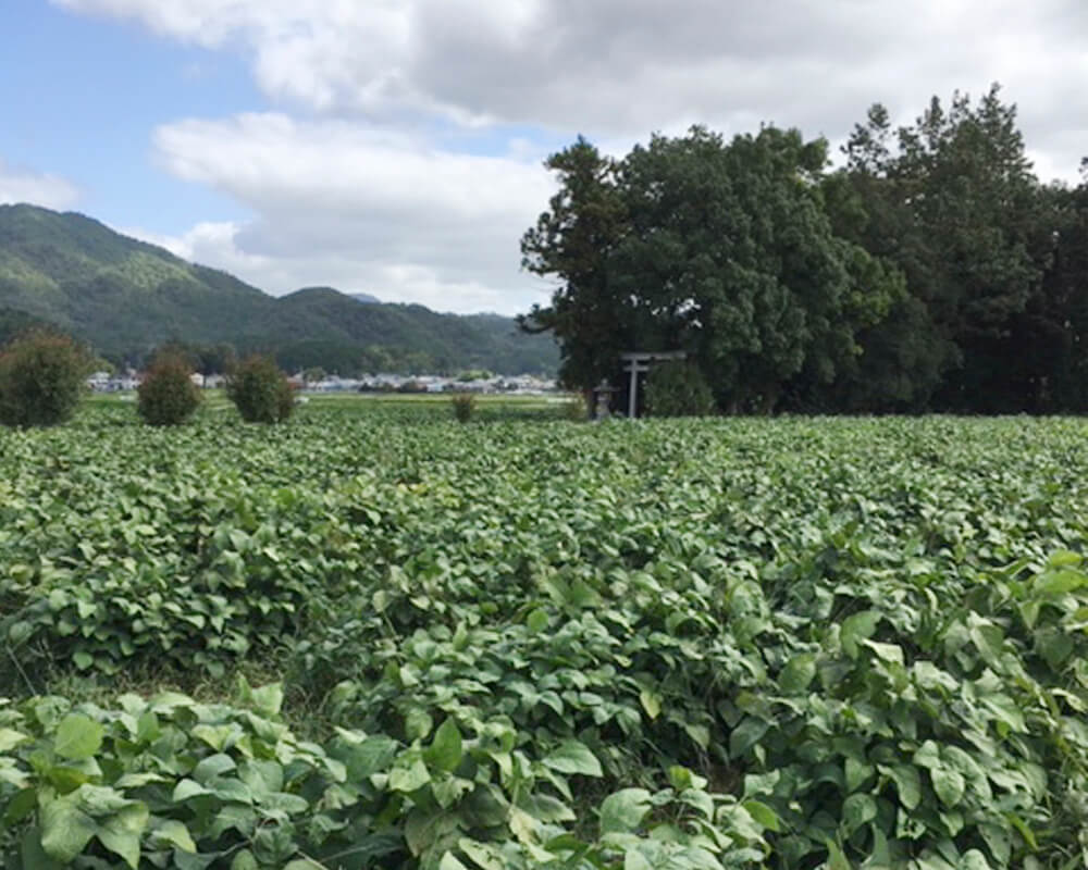 丹波篠山市の黒豆畑の風景