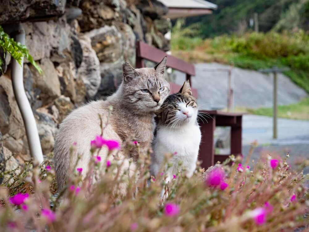 島のボス猫と寄り添うキジ白のメス猫 by simabossneko