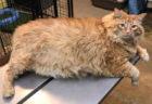 体重ニャンと16キロ…!アメリカの太り過ぎな猫「キング」のダイエットチャレンジが話題に