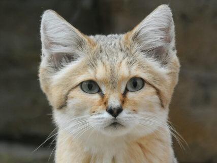 尖った三角耳が可愛すぎるニャ〜♪ 砂漠の天使「スナネコ」が2つの動物園で国内初登場
