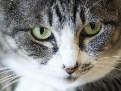 サバトラ猫のアップ写真