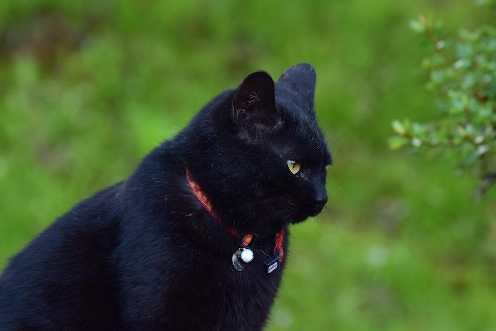 屋外にいる首輪をした飼い猫のイメージ写真
