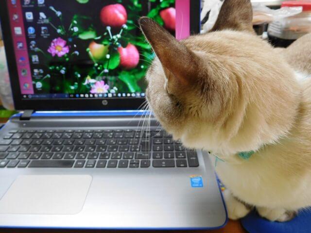 パソコンを覗きにきた猫