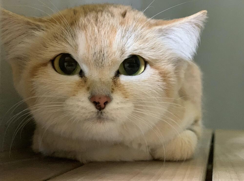 世界最小級の野生ネコ「スナネコ」が那須どうぶつ王国で国内初展示を開始
