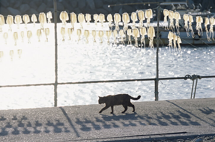天日干しされたイカの下を歩く猫の写真(祝島、山口県熊毛郡) by 岩合光昭