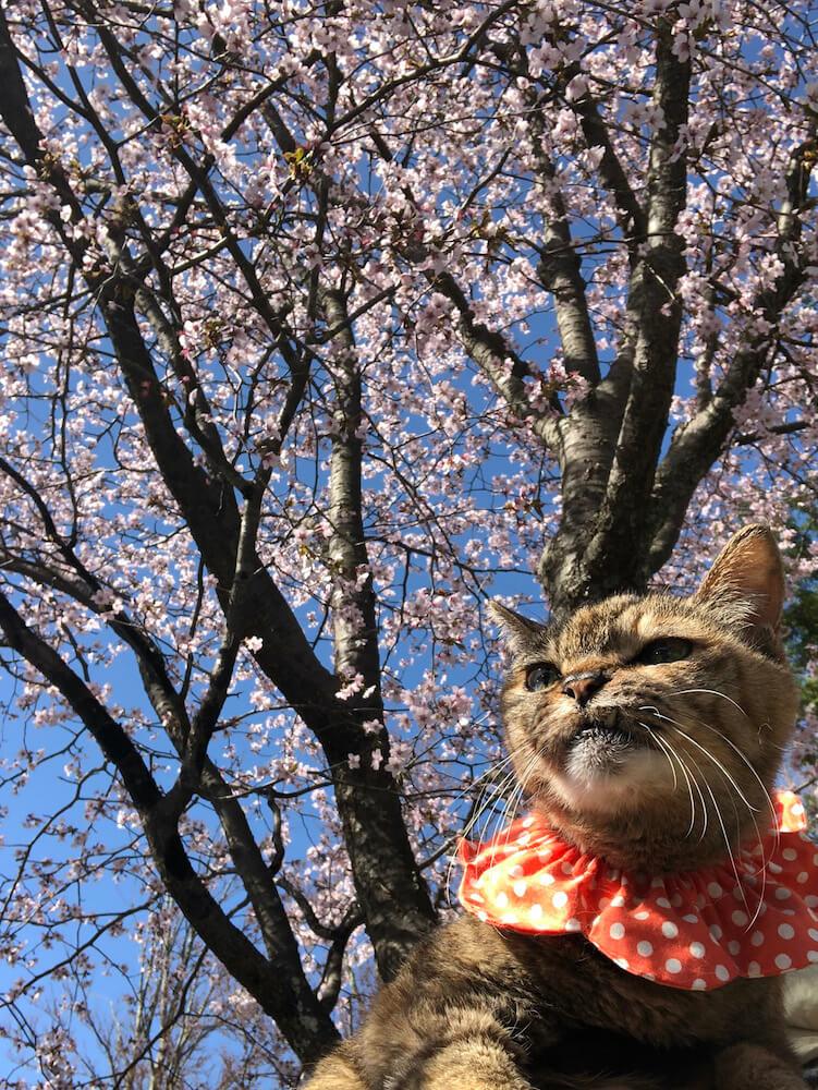 桜を背にしたキジトラ猫 by Mai