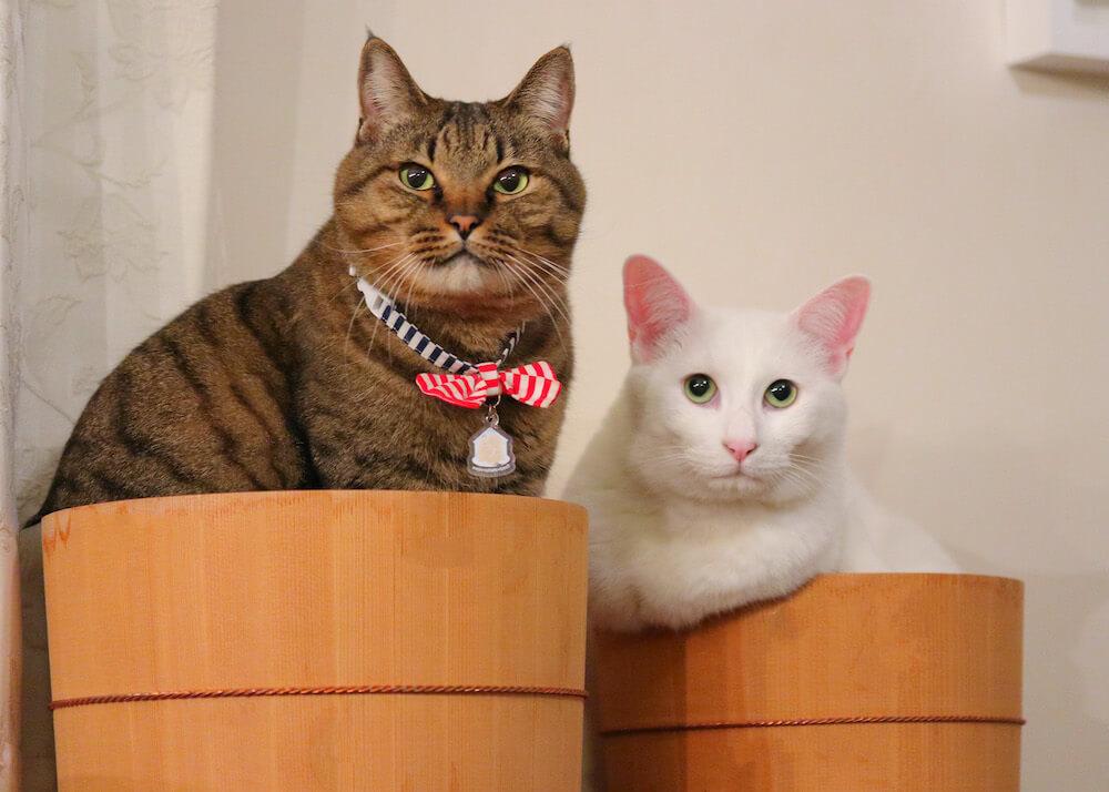 カメラ目線のキジトラ猫&白猫 by 瀬戸にゃんちさ