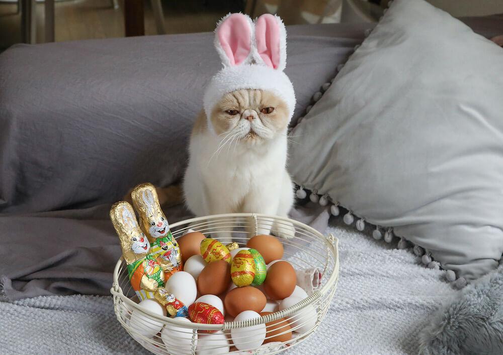 イースター記念にウサギの被り物を装着するエキゾチックショートヘア by ネズミイロのネコとバニラ
