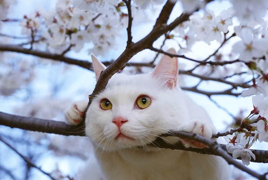 山梨県小淵沢町(現・北杜市)で撮影した岩合さんの愛猫「にゃんきっちゃん」の写真 by 岩合光昭