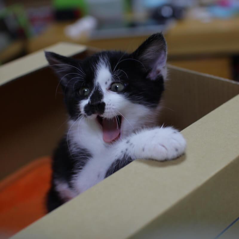 ダンボールから威嚇する子猫の写真 by @nozomioride