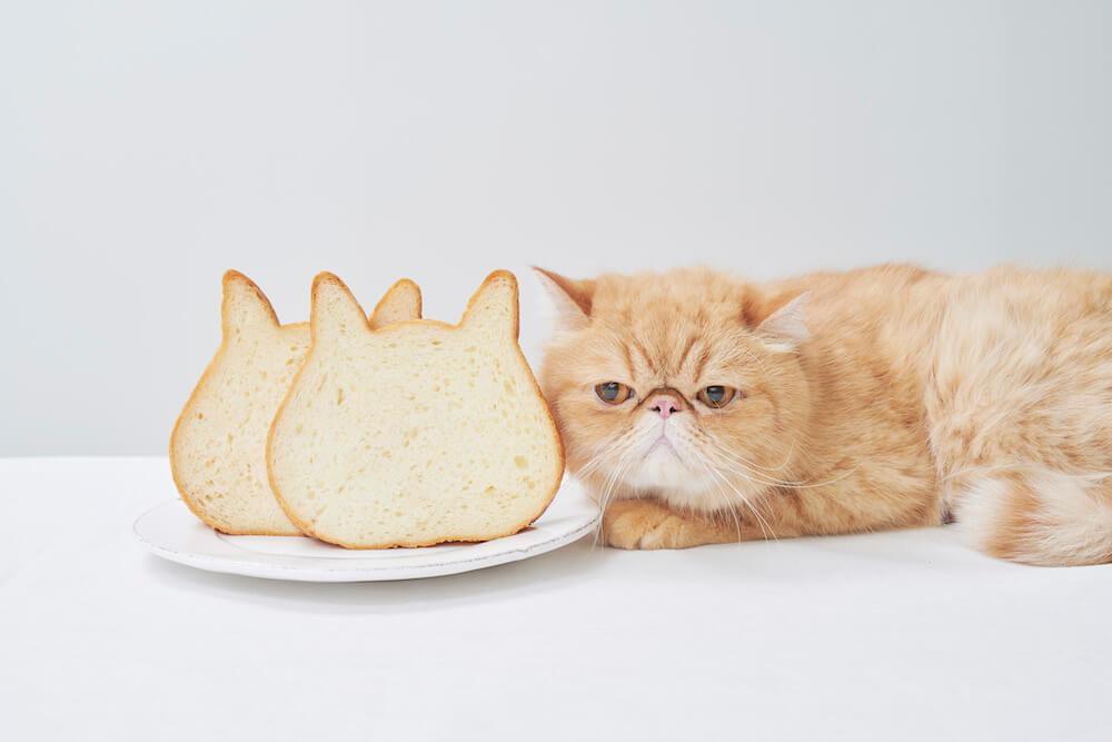 ネコ型の高級食パン「ねこねこ食パン」とエキゾチックショートヘアの猫