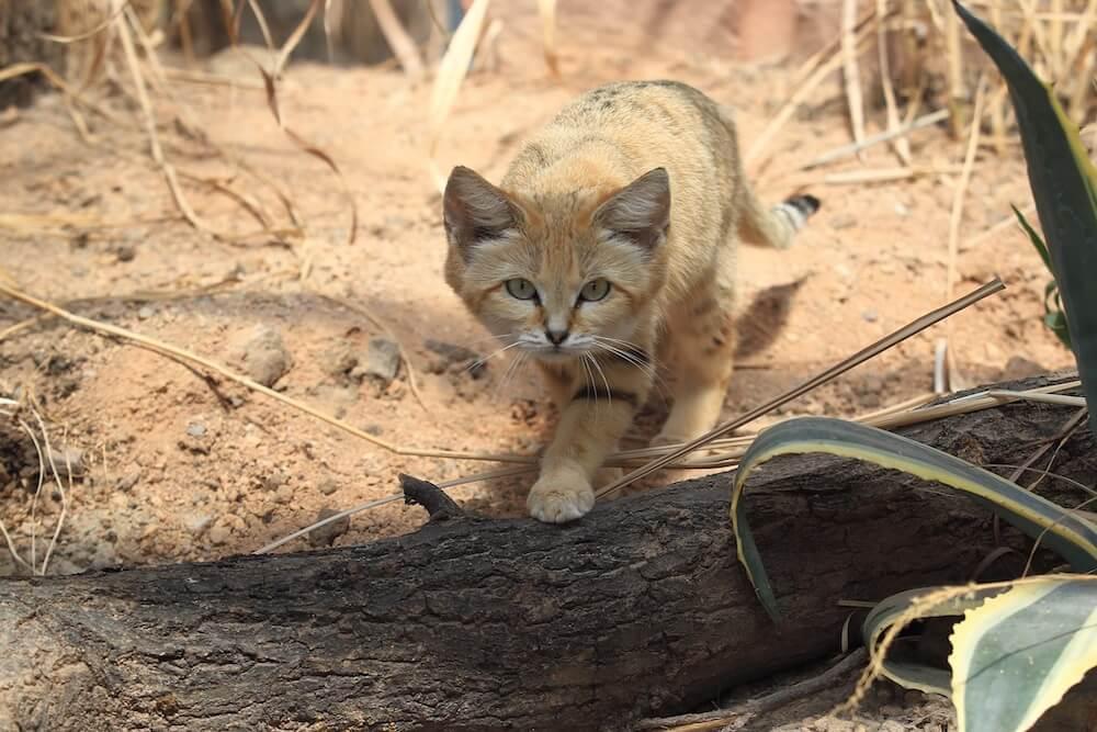 姿勢を低くして砂漠地帯を歩く野生の「スナネコ」(穴掘りネコ)