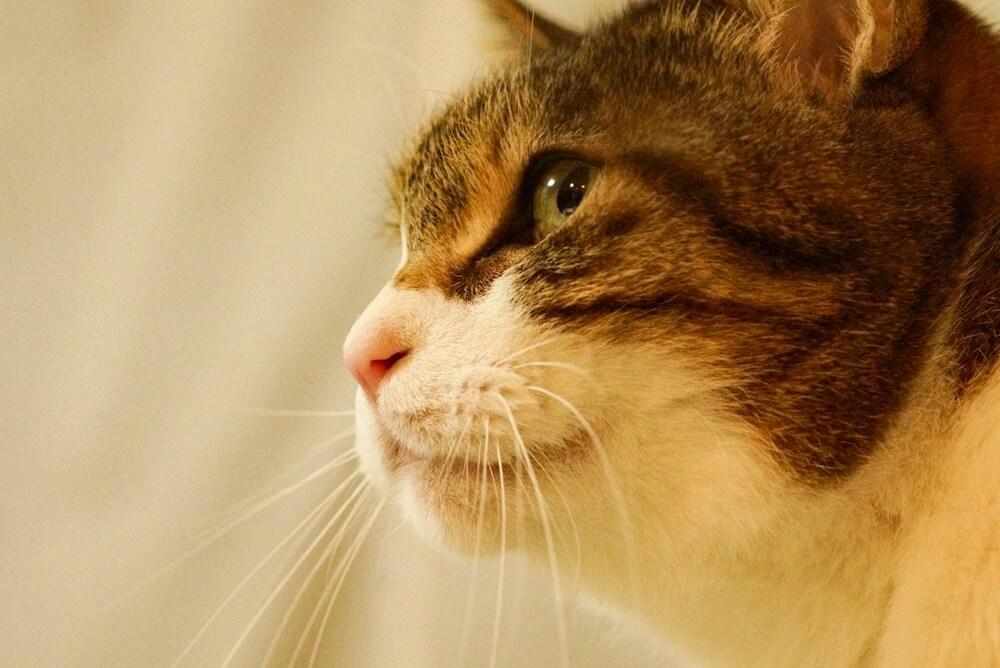 遠くを見つめるキジ白猫の横顔イメージ写真