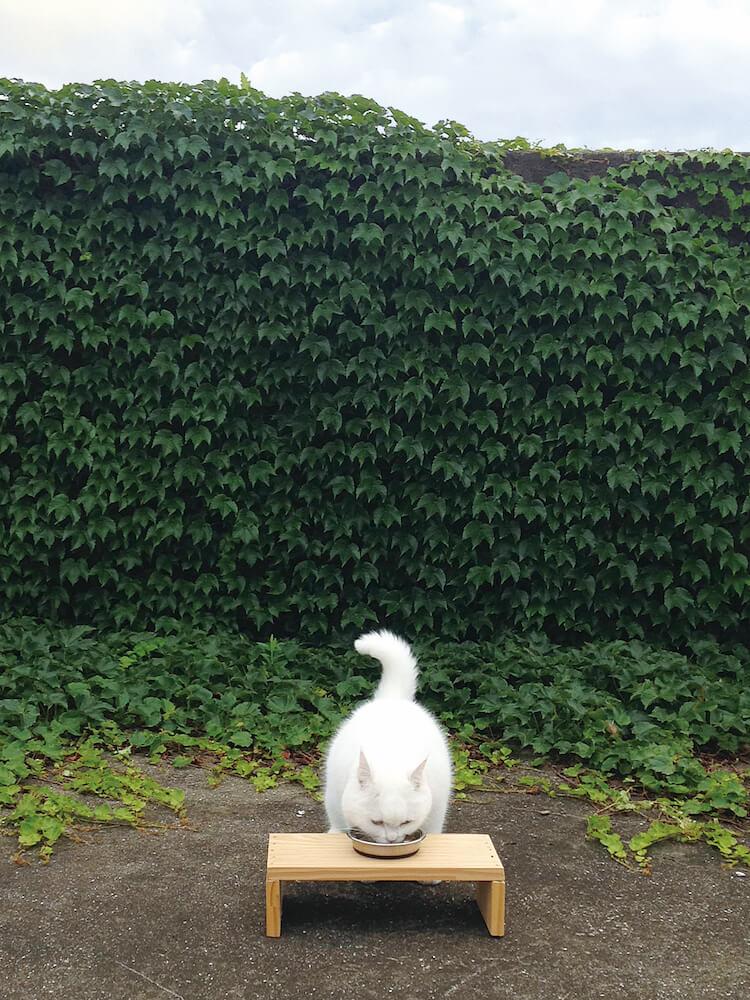 庭でご飯を食べる白猫のヒック(@sina_heek) by しあわせはノラネコが連れてくる
