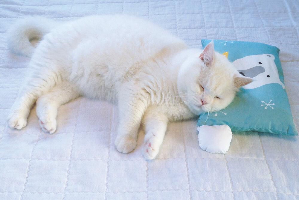 人間の枕に頭をのせて眠る白猫のヒック(@sina_heek) by しあわせはノラネコが連れてくる