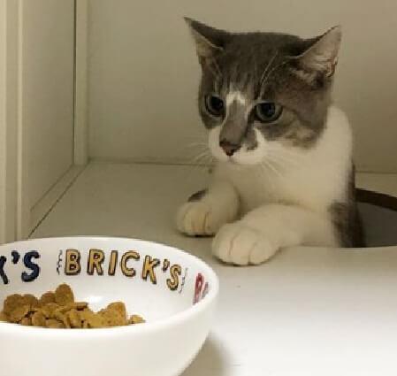 警戒しながらご飯を見つめる猫の写真 by @nozomioride