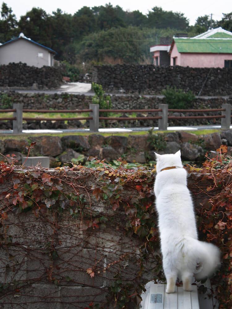 家の敷地の外を眺める白猫のヒック(@sina_heek) by しあわせはノラネコが連れてくる