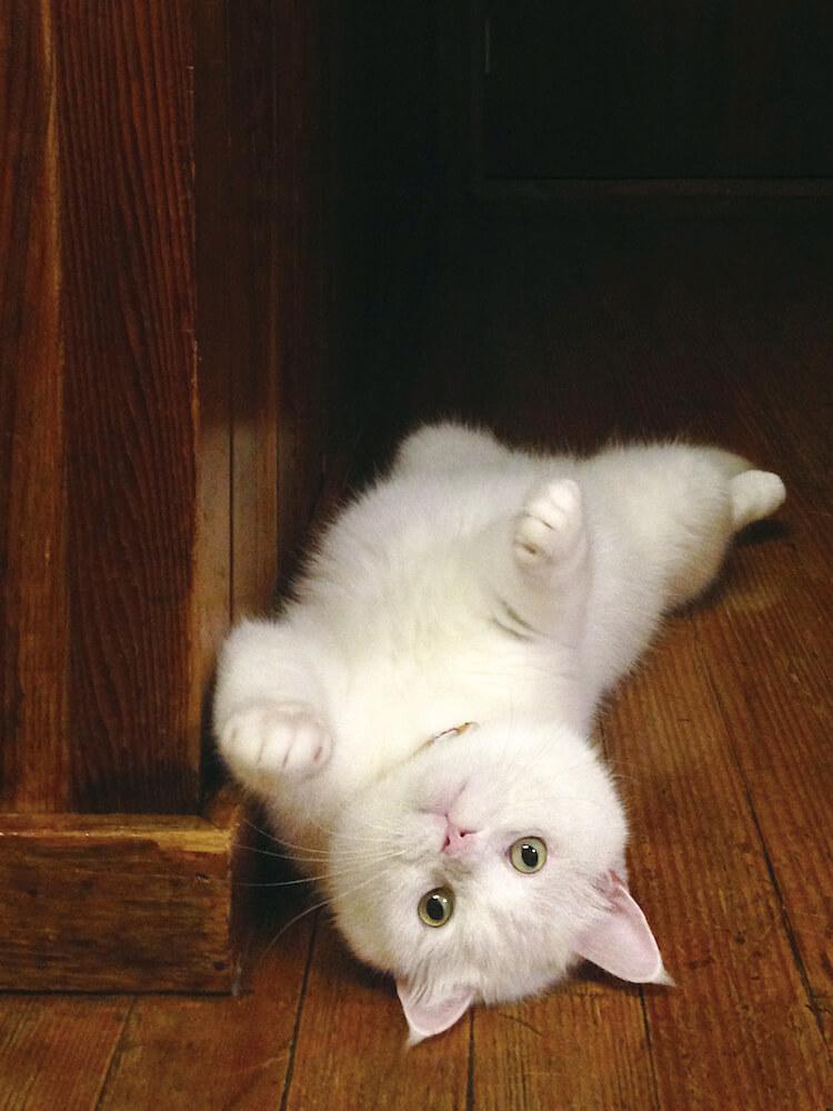 本造家屋で寝転がる白猫のヒック(@sina_heek) by しあわせはノラネコが連れてくる