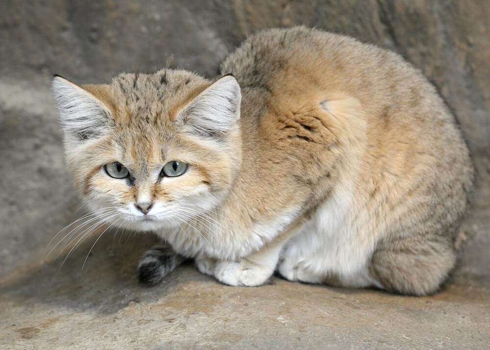 那須どうぶつ王国で国内初展示される世界最小級の野生ネコ「スナネコ」