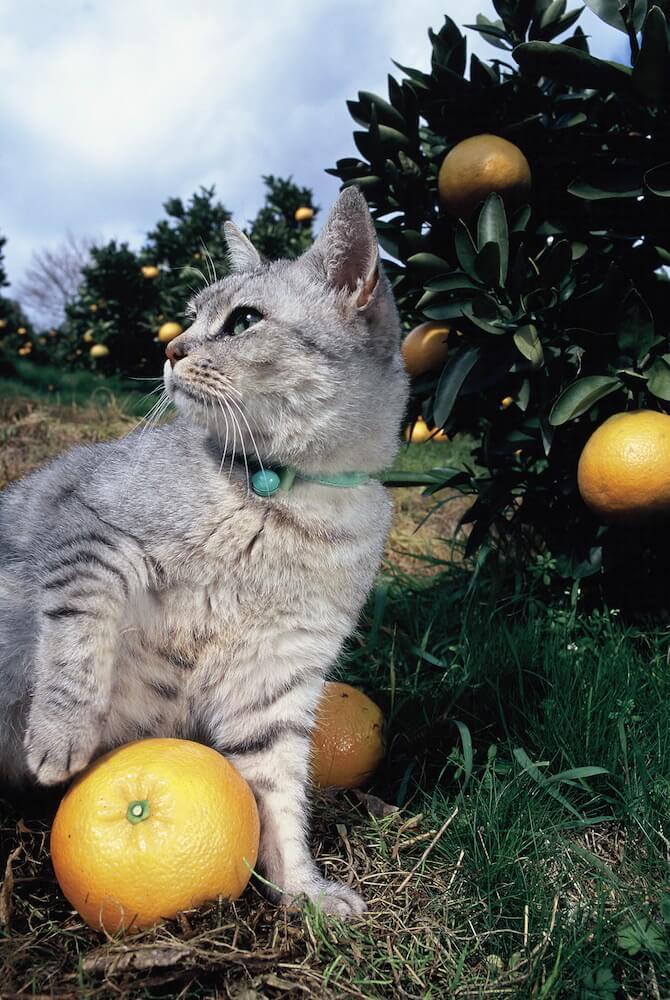 みかん畑でみかんと戯れる猫の写真(愛媛県松山市) by 岩合光昭
