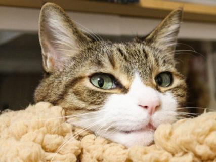 リアルタイムで保護猫とお見合いできるにゃ!ライブ配信型のオンライン譲渡会が4/12に開催