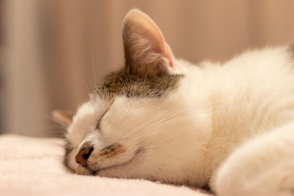 あごを布団につけて眠る猫 by WEBねこにすと〜ねこ寝っこ篇〜