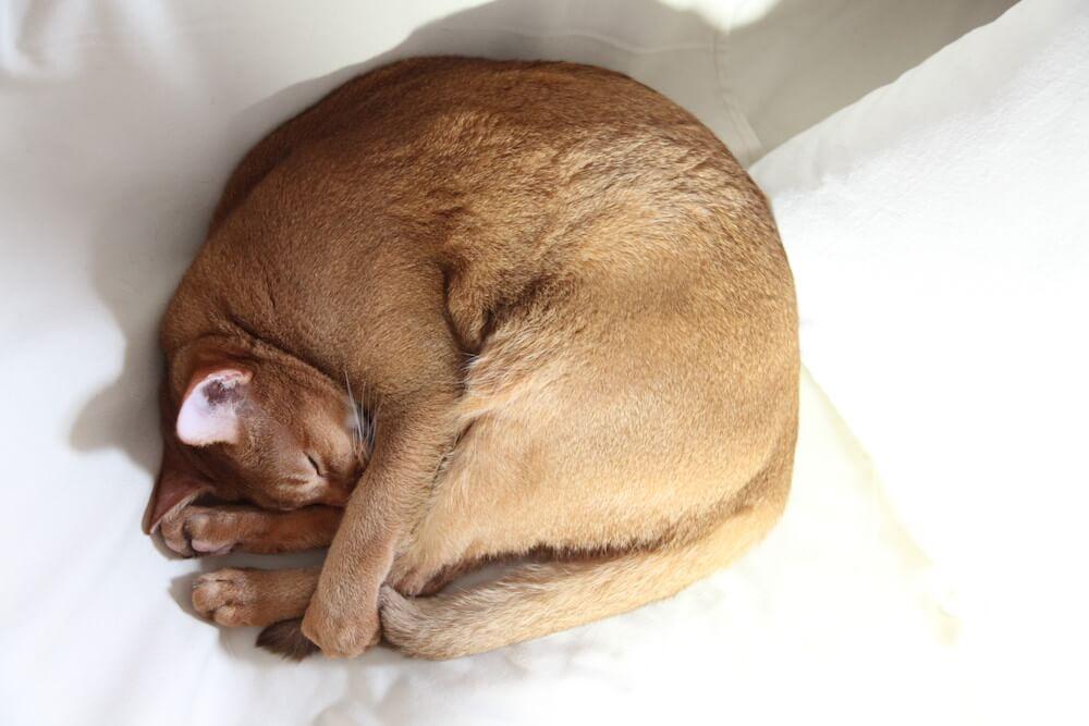 ニャンモナイトの姿勢で眠る猫 by WEBねこにすと〜ねこ寝っこ篇〜