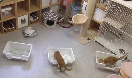 猫トイレの最適な横幅を猫カフェで実態調査するイメージ