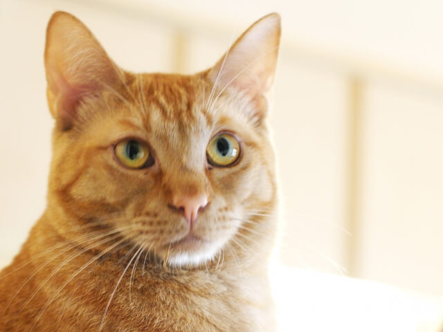 上目線の茶トラ猫のイメージ写真